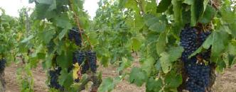 Etat sanitaire des raisins